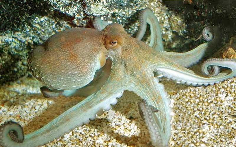 Polpo, Octopus vulgaris, come vive e le sue abitudini