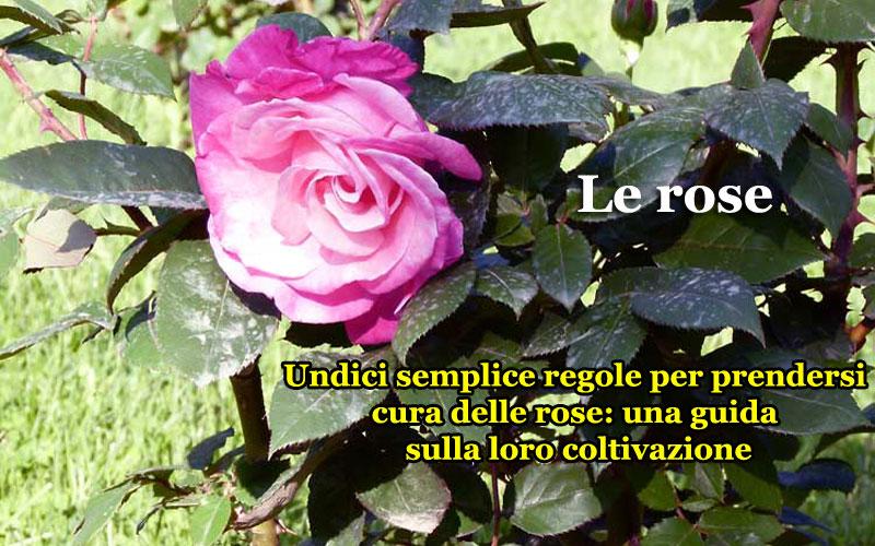 Rose coltivazione e cura