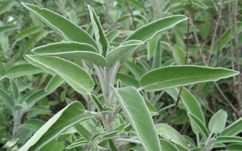 Salvia: proprietà e coltivazione
