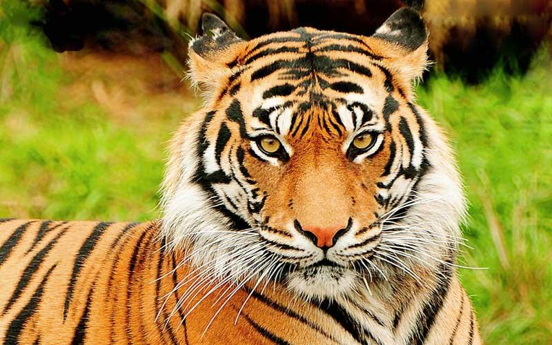 La tigre, vita, abitudini, dove vive