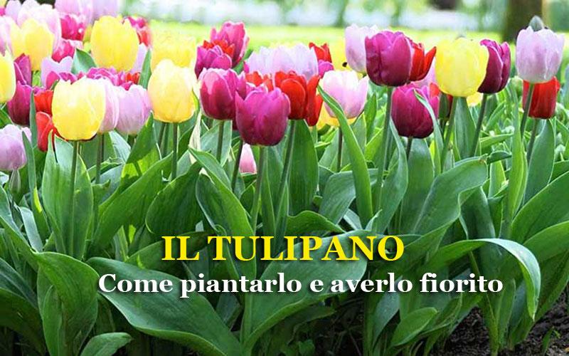 Il tulipano coltivazione e cura