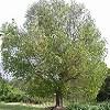Linguaggio dei fiori Ficus