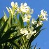 Linguaggio dei fiori Oleandro