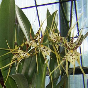 Brassia orchidea, famiglia Orchidaceae,  tecniche di coltivazione