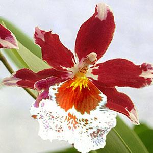 Cambria orchidea, famiglia Orchidaceae,  tecniche di coltivazione