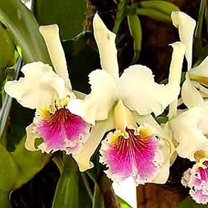 Cattleya, orchidea, famiglia Orchidaceae,  tecniche di coltivazione