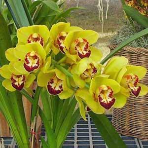 Cymbidium orchidea, famiglia Orchidaceae,  tecniche di coltivazione