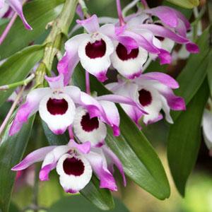 Phragmipedium, orchidea, famiglia Orchidaceae,  tecniche di coltivazione
