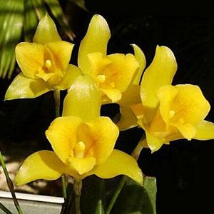 Lycaste orchidea, famiglia Orchidaceae,  tecniche di coltivazione