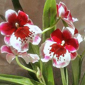 Miltonia e Miltoniopsis orchidea, famiglia Orchidaceae,  tecniche di coltivazione