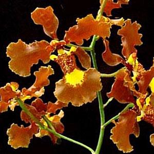 Oncidium, orchidea, famiglia Orchidaceae,  tecniche di coltivazione