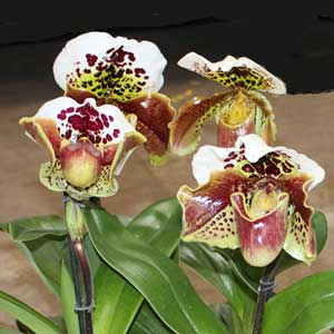Paphiopedilum, orchidea, famiglia Orchidaceae,  tecniche di coltivazione
