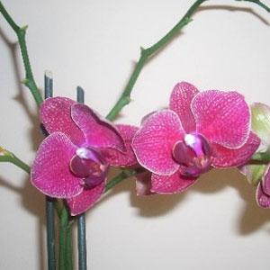 Phalaenopsis orchidea, famiglia Orchidaceae,  tecniche di coltivazione