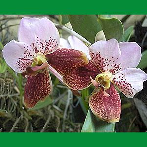 Vanda, orchidea, famiglia Orchidaceae,  tecniche di coltivazione