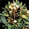 Catuaba, Erythroxylum catuaba e Trichilia catigua