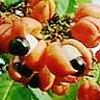 Guaranà, Paullinia cupana