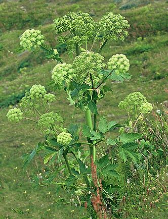 Angelica infiorescenza