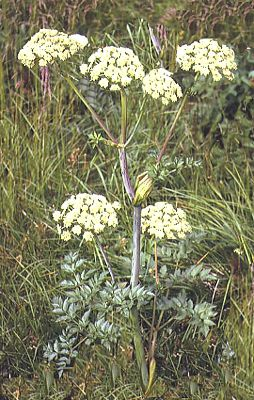 Angelica silvestris