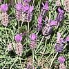 Lavanda, Lavandula , piante aromatiche
