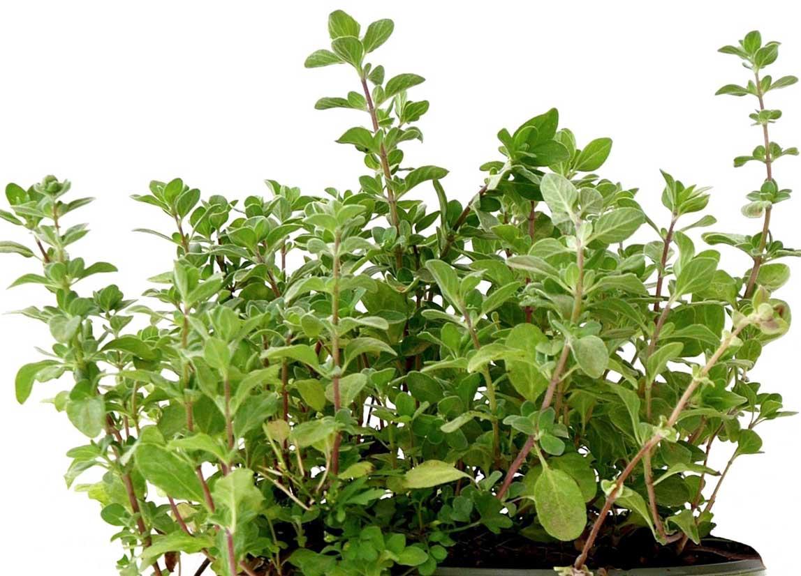 Pianta Simile Al Rosmarino maggiorana: coltivazione, proprietà e benefici della maggiorana