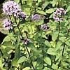 Maggiorana, Origanum majorana, piante aromatiche, proprietà e coltivazione
