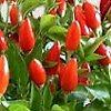 Peperoncino, Capsicum , piante aromatiche, proprietà e coltivazione