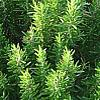 Rosmarino, Rosmarinus officinalis, Origanum majorana, piante aromatiche, proprietà e coltivazione