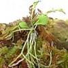 Genlisea, pianta carnivora o pianta insettivora