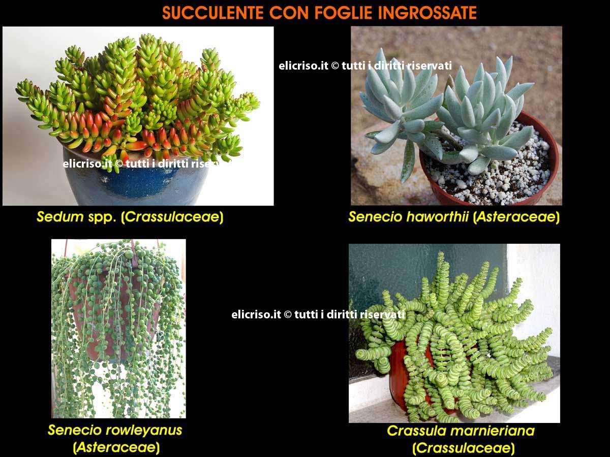 Adattamento di una pianta grassa alla siccità  mediante l'ingrossamento delle foglie