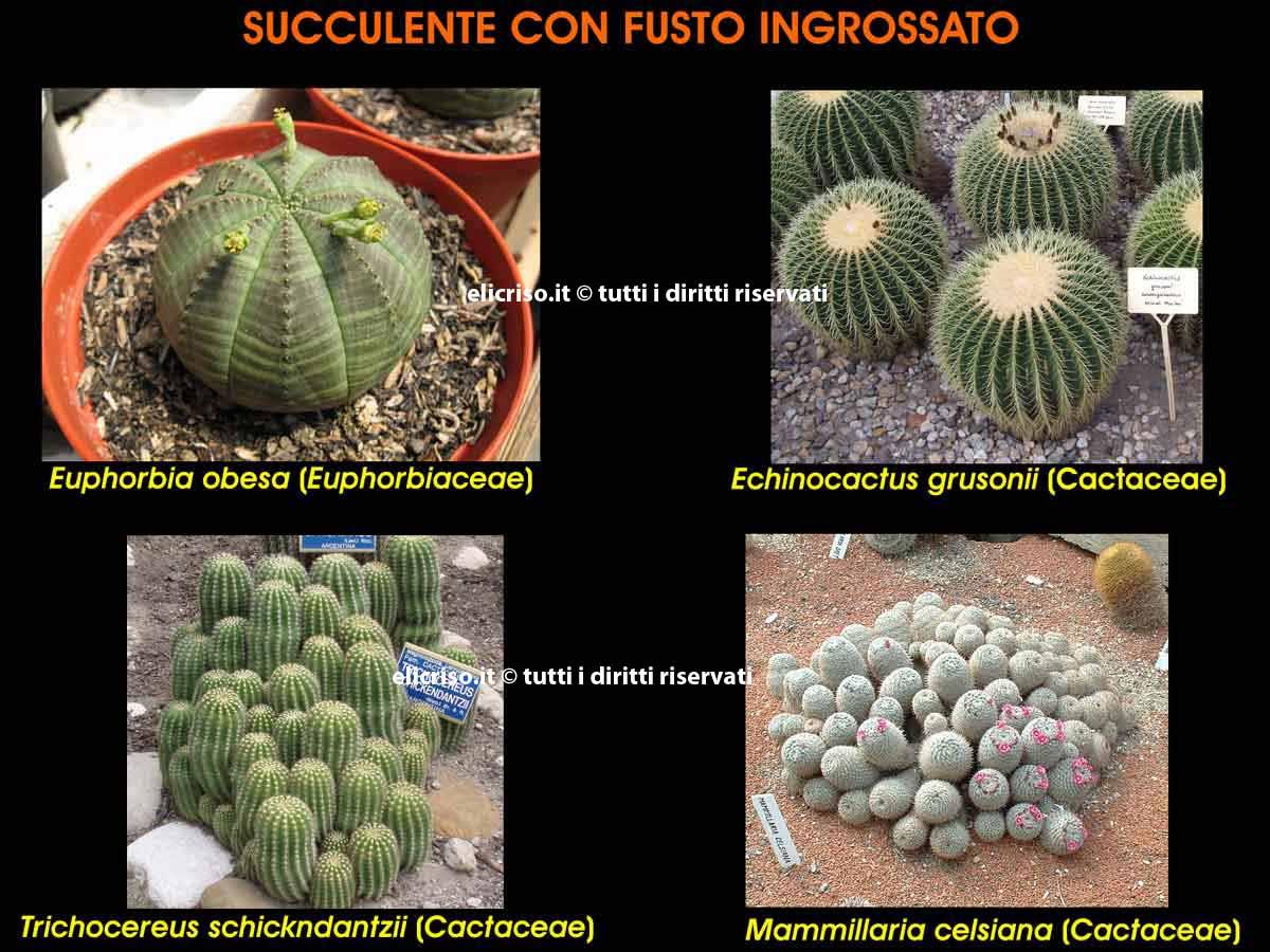 Adattamento di una pianta grassa alla siccità mediante fusto ingrossato