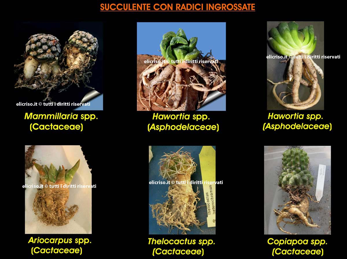 Adattamento di una pianta grassa alla siccità mediante ingrossamento delle radici