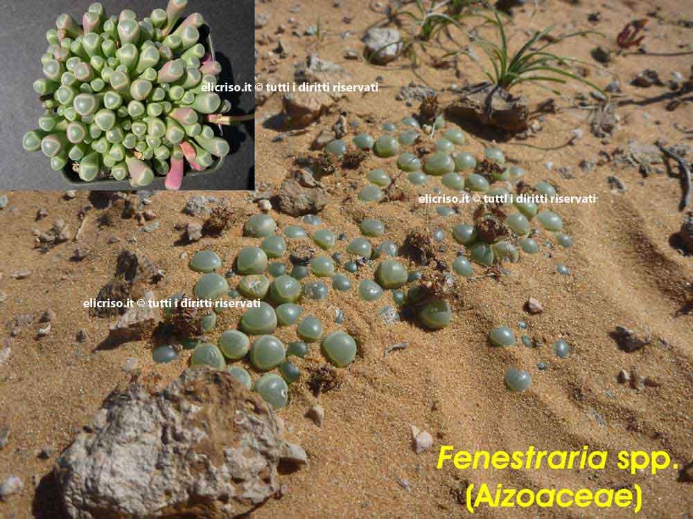 Riduzione della traspirazione mediante pianta che si nasconde nel terreno