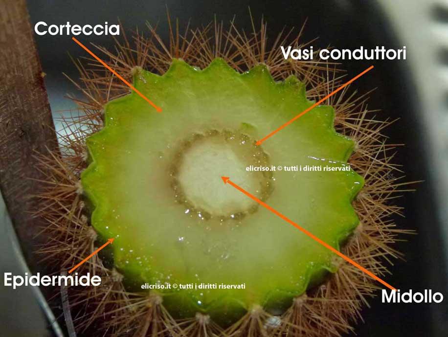 Come le piante grasse si adattano alla siccità trattenendo tenacemente l'acqua