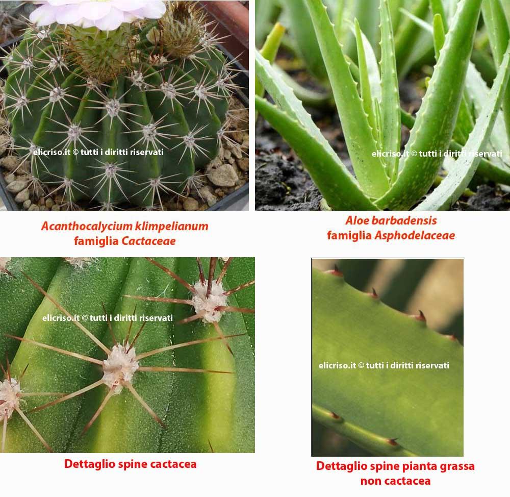 Come riconoscere una pianta grassa da una cactacea