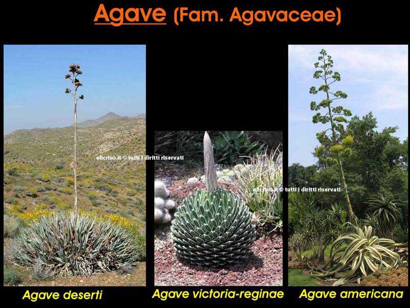 Specie diverse di Agave