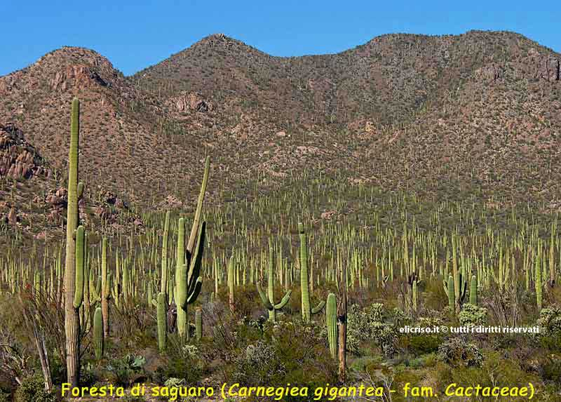Foreste di saguaro