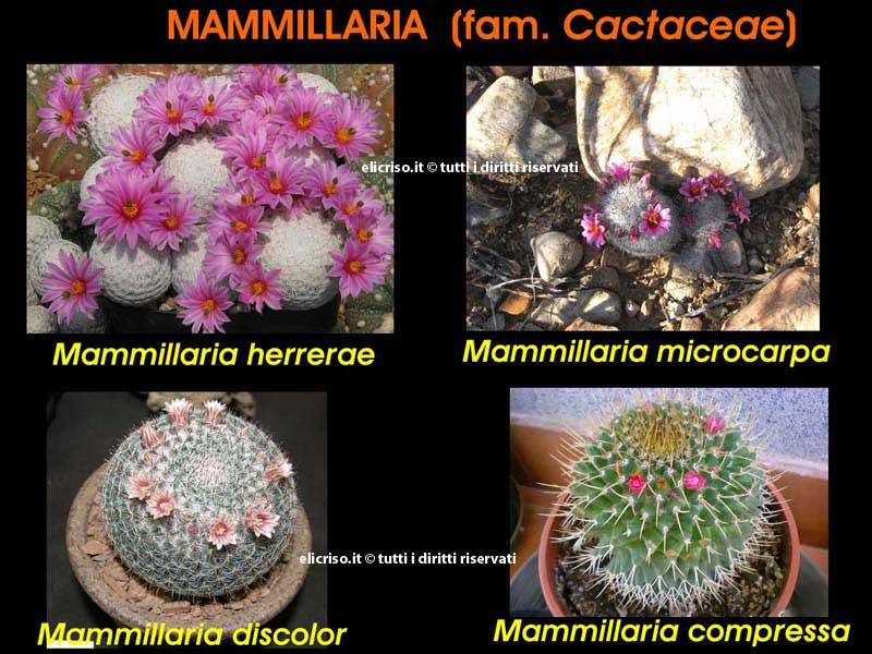 Diverse specie di Mammillaria