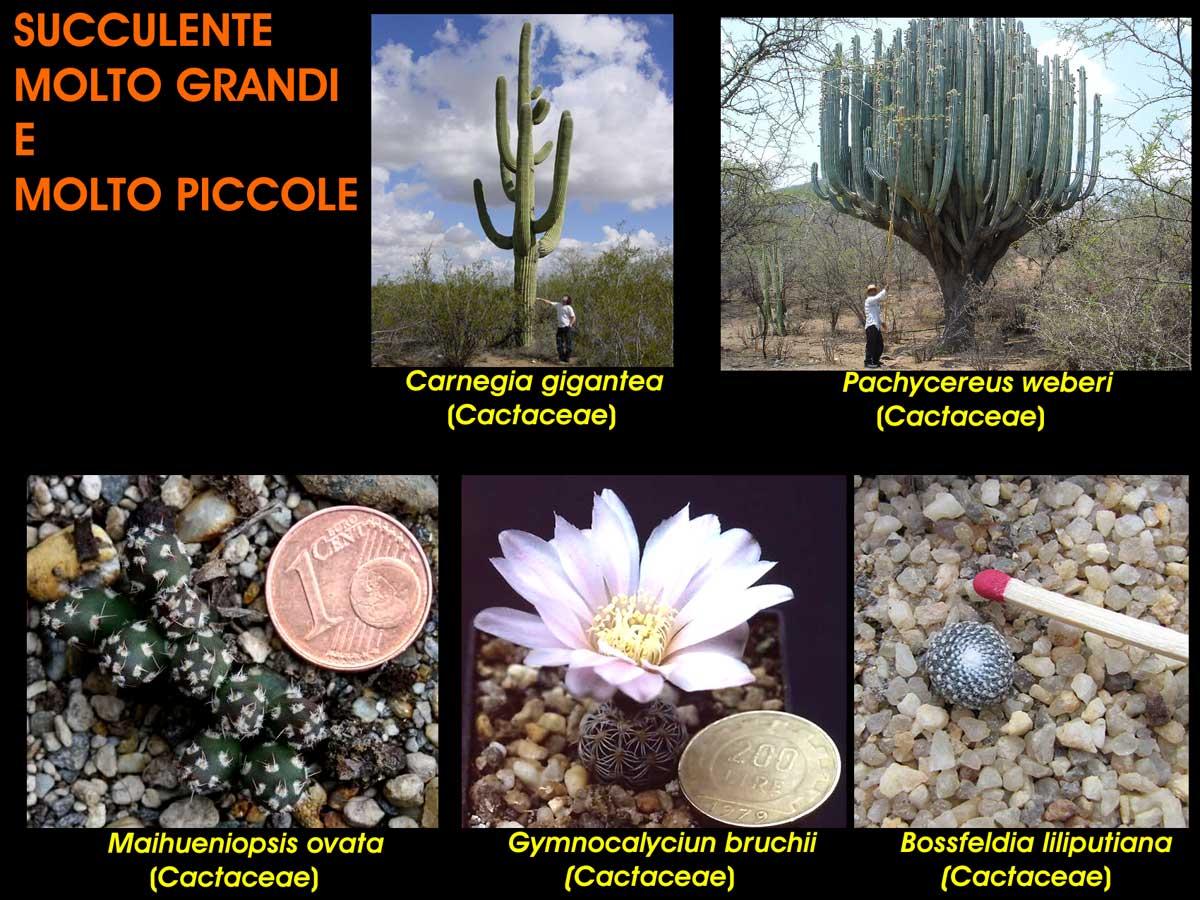 Piante grasse o cactus di diverse dimensioni