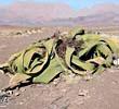 Welwitschia mirabilis: caratteristiche