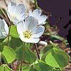 Acetosella, Oxalis acetosella, pianta medicinale