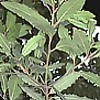 Alloro, Laurus nobilis, pianta medicinale