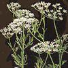 Anice verde, Pimpinella anisum,  pianta medicinale