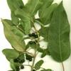 Maqui o Clon, Aristotelia chilensis, pianta medicinale