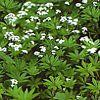 Asperula odorata, pianta medicinale