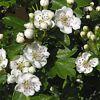 Linguaggio dei fiori Biancospino