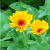 Calendula officinalis, pianta medicinale