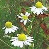 Camomilla comune, Matricaria chamomilla, pianta medicinale