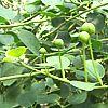 Cappero, Capparis spinosa, pianta medicinale