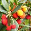 Corbezzolo, Arbutus unedo, pianta medicinale