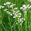 Cumino, Carum carvi, pianta medicinale